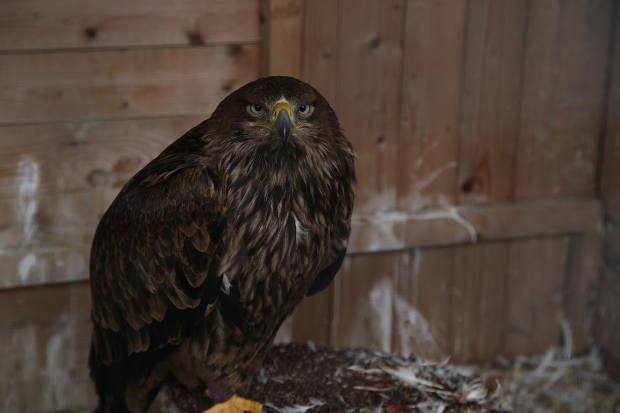 императорский орёл