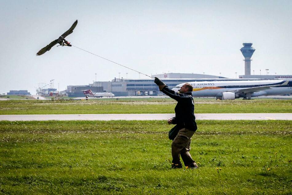 охрана аэропортов хищными птицами
