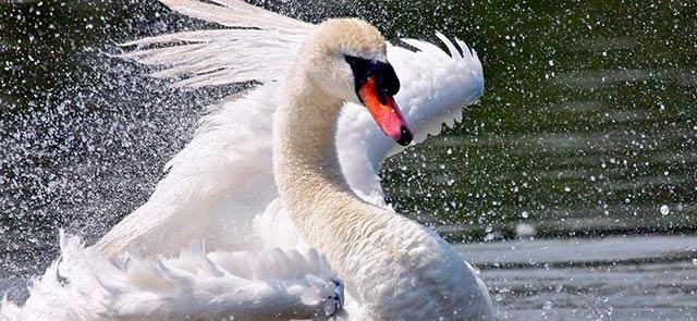 лебеди в Сокольниках